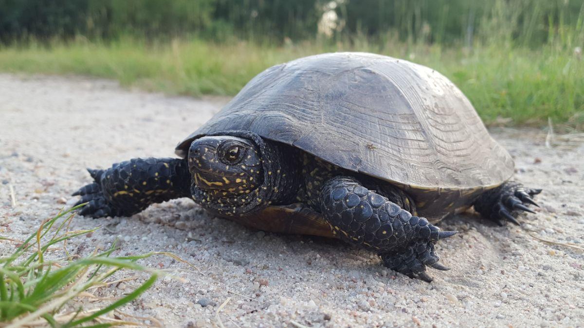 Żółw błotny w Poleskim Parku Narodowym
