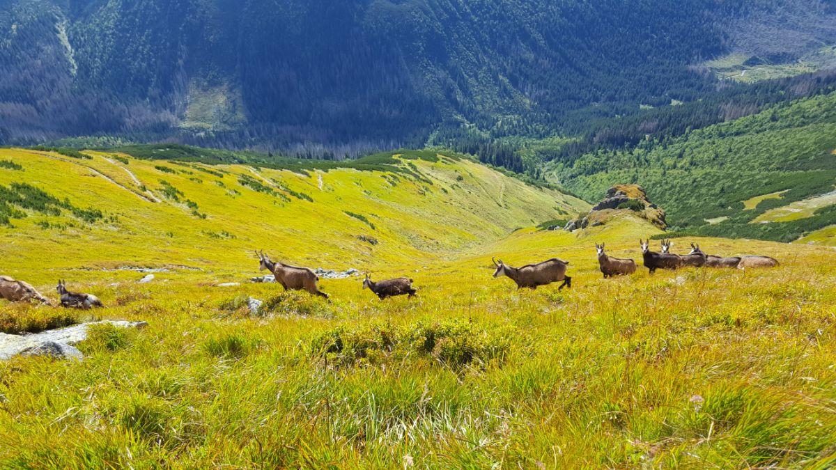 Kozice w Tatrzańskim Parku Narodowym